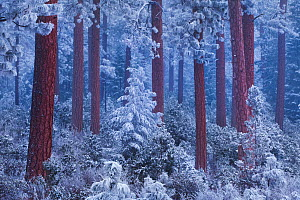 Ponderosa pine (Pinus ponderosa) grove at twilight under a heavy snowfall, Deschutes National Forest, Oregon, USA. December 2009  -  Floris van Breugel