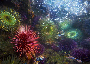 Giant Red Sea Urchins (Strongylocentrotus franciscanus) Purple sea urchins (Strongylocentrotus purpuratus) and Sea Anenomes  (Anthopleura) underwater, in tide pools along Californian coastline, USA. - Floris van Breugel