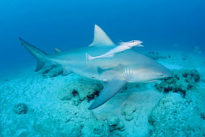 Bull shark (Carcharhinus leucas) female in seasonal breeding aggregation with Sharksucker (Echeneis naucrates) Playa del Carmen, Cancun, Quintana Roo, Yucatan Peninsula, Mexico (Caribbean Sea)  -  Doug Perrine