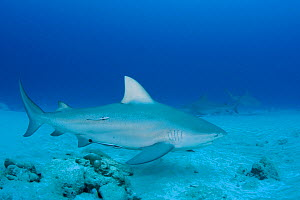 Female Bull sharks (Carcharhinus leucas) in seasonal breeding aggregation with Sharksuckers (Echeneis naucrates) Playa del Carmen, Cancun, Quintana Roo, Yucatan Peninsula, Mexico (Caribbean Sea)  -  Doug Perrine