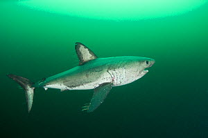 Salmon shark (Lamna ditropis) female with mating scar on side and copepod parasites streaming from fins, Port Fidalgo, Prince William Sound, Alaska, USA  -  Doug Perrine