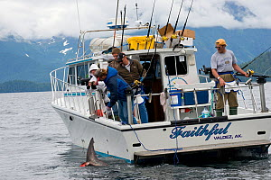 Charter recreational fishing boat brings in a Salmon shark (Lamna ditropis) Port Fidalgo, Prince William Sound, Alaska, USA. July 2010.  -  Doug Perrine