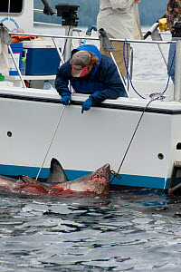 Charter recreational fishing boat brings in a Salmon shark (Lamna ditropis) Port Fidalgo, Prince William Sound, Alaska, USA. July 2010  -  Doug Perrine