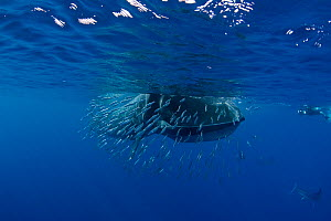 Bryde's whale (Balaenoptera brydei / edeni) feeding on baitball of Sardines (Sardinops sagax) off Baja California, Mexico, Eastern Pacific Ocean. 3 in sequence of 5 - Doug Perrine