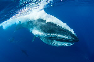 Bryde's whale (Balaenoptera brydei / edeni) expelling air and water from mouth through baleen plates after engulfing part of a baitball of Sardines, Sardinops sagax, off Baja California, Mexico (Easte...  -  Doug Perrine