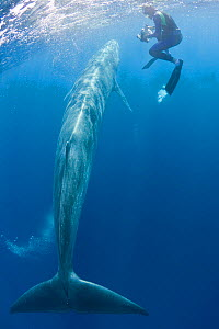 Bryde's whale, Balaenoptera brydei / edeni) swimming past underwater photographer Brandon Cole, off Baja California, Mexico (Eastern Pacific Ocean)  -  Doug Perrine