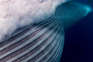 Bryde's whale (Balaenoptera brydei / edeni) with throat pleats expanded after engulfing part of a school of Sardines, off Baja California, Mexico (Eastern Pacific Ocean) - Doug Perrine