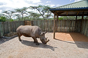 Northern white rhinoceros (Ceratotherium simum cottoni) initial release into small enclosure at Ol Pejeta Conservancy, Kenya, December 2009, Extinct in the wild, only eight left in captivity, critical... - Mark Carwardine