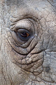 Northern white rhinoceros (Ceratotherium simum cottoni) close up of eye, in enclosure at Dvur Kralove Zoo, Czech Republic, the day before departure, December 2009, Extinct in the wild, only eight left...  -  Mark Carwardine