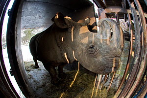 Northern white rhinoceros (Ceratotherium simum cottoni) getting used to the transport crate in Dvur Kralove Zoo, Czech Republic, December 2009, Extinct in the wild, only eight left in captivity, criti... - Mark Carwardine