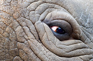 Northern white rhinoceros (Ceratotherium simum cottoni) close-up of eye, Dvur Kralove Zoo, Czech Republic, December 2009, Extinct in the wild, only eight left in captivity, critically endangered, Part... - Mark Carwardine
