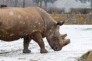 Northern white rhinoceros (Ceratotherium simum cottoni) in enclosure at Dvur Kralove Zoo, Czech Republic, the day before departure, December 2009, Extinct in the wild, only eight left in captivity, cr... - Mark Carwardine