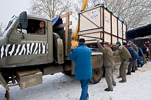 Northern white rhinoceros (Ceratotherium simum cottoni) in transport crate at Dvur Kralove Zoo, Czech Republic, ready to drive to Prague airport for flight to Nairobi, December 2009, Extinct in the wi... - Mark Carwardine