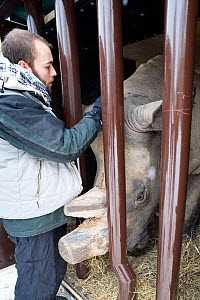 Zoo keeper saying farewell to Northern white rhinoceros (Ceratotherium simum cottoni) in transport crate at Dvur Kralove Zoo, Czech Republic, ready for departure to Kenya, December 2009, Extinct in th... - Mark Carwardine