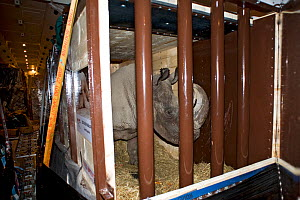 Northern white rhinoceros (Ceratotherium simum cottoni) in transport crate in cargo hold of Boeing 747 aeroplane  between Prague and Nairobi, December 2009, Extinct in the wild, only eight left in cap... - Mark Carwardine
