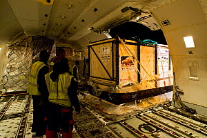 Northern white rhinoceros (Ceratotherium simum cottoni) in transport crate being offloaded Boeing 747 aeroplane at Nairobi Airport,  December 2009, Extinct in the wild, only eight left in captivity, c... - Mark Carwardine