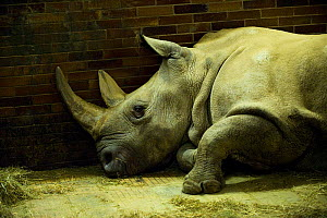 Northern white rhinoceros (Ceratotherium simum cottoni) inside cramped brick building at Dvur Kralove Zoo, Czech Republic,  December 2009, Extinct in the wild, only eight left in captivity, critically... - Mark Carwardine