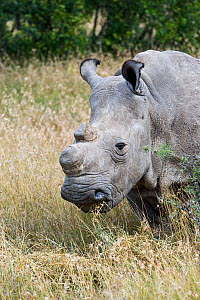 Northern white rhinoceros (Ceratotherium simum cottoni) rehabilitated back in the wild at Ol Pejeta Conservancy, Kenya, June 2010, Extinct in the wild, only eight left in captivity, critically endange... - Mark Carwardine