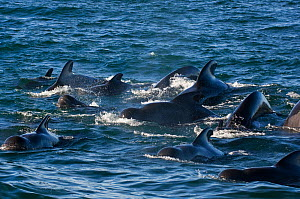 Pod of Short-finned pilot whales (Globicephala macrorhynchus) at surface, Sea of Cortez, Baja California, Mexico - Mark Carwardine