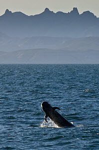 Short-finned pilot whale (Globicephala macrorhynchus) breaching, Sea of Cortez, Baja California, Mexico - Mark Carwardine