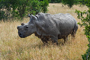 Northern white rhinoceros (Ceratotherium simum cottoni) with horn removed, rehabilitated back in the wild at Ol Pejeta Conservancy, Kenya, June 2010, Extinct in the wild, only eight left in captivity,... - Mark Carwardine