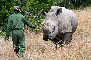 Game ranger checking on a Northern white rhinoceros (Ceratotherium simum cottoni) after initial release into the wild, Ol Pejeta Conservancy, Kenya, June 2010, Extinct in the wild, only eight left in... - Mark Carwardine