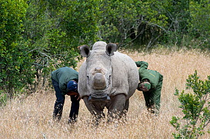 Game ranger and vet checking on a Northern white rhinoceros (Ceratotherium simum cottoni) after initial release into the wild, Ol Pejeta Conservancy, Kenya, June 2010, Extinct in the wild, only eight... - Mark Carwardine