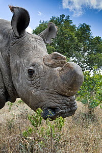 Northern white rhinoceros (Ceratotherium simum cottoni) with horn removed, after initial release into the wild, Ol Pejeta Conservancy, Kenya, June 2010, Extinct in the wild, only eight left in captivi... - Mark Carwardine