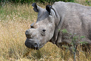 Northern white rhinoceros (Ceratotherium simum cottoni) after initial release into the wild, Ol Pejeta Conservancy, Kenya, June 2010, Extinct in the wild, only eight left in captivity, critically enda... - Mark Carwardine