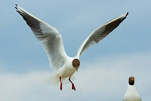Black-headed gull (Chroicocephalus ridibundus) landing, Farne Islands, Northumberland, UK, June - Edwin Giesbers