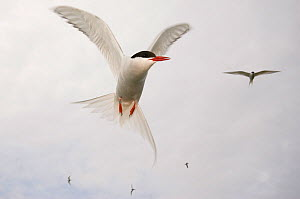 Arctic tern (Sterna paradisaea) in flight, Farne Islands, Northumberland, UK, June  -  Edwin Giesbers