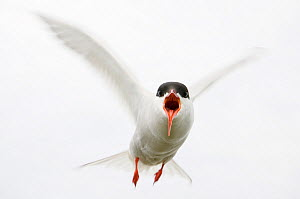 Arctic tern (Sterna paradisaea) in flight, calling, Farne Islands, Northumberland, UK, June - Edwin Giesbers