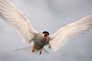 RF- Arctic tern (Sterna paradisaea) in flight, calling, Farne Islands, Northumberland, UK. June. (This image may be licensed either as rights managed or royalty free.)  -  Edwin  Giesbers