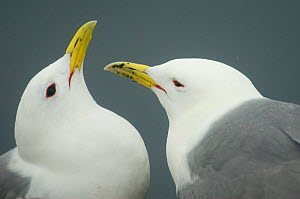 Kittiwake (Rissa tridactyla) pair interacting, Farne Islands, Northumberland, UK, June - Edwin Giesbers