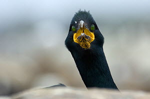 Shag (Phalacrocorax aristotelis) looking curious, Farne Islands, Northumberland, UK - Edwin Giesbers