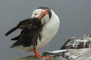 Atlantic puffin (Fratercula arctica) scratching, Farne Islands, Northumberland, UK, June - Edwin Giesbers