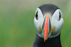 Atlantic puffin (Fratercula arctica) looking curious, Farne Islands, Northumberland, UK, June - Edwin Giesbers