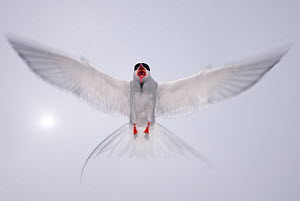 Arctic tern (Sterna paradisaea) in flight, vocalising, aggresive behaviour, Farne Islands, Northumberland, UK, June - Edwin Giesbers