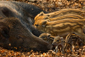 Wild boar (Sus scrofa) female with piglets from two different litters, the Netherlands, April  -  Edwin Giesbers