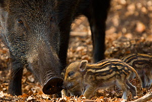 Wild boar (Sus scrofa) mother watching over tiny piglets, the Netherlands, April - Edwin Giesbers