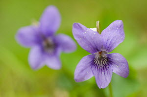 Common dog violet (Viola riviniana) flowers, Belgium, October  -  Edwin Giesbers
