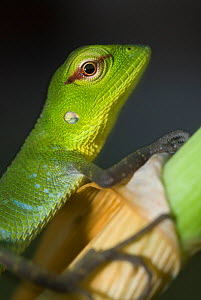 Common Green Forest Lizard(Calotes calotes) juvenile, Sri Lanka,  -  Ian Lockwood