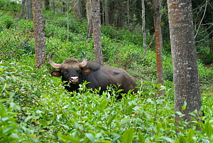 Wild gaur (Bos gaurus) bull in tea plantation near the settlment of Kodaikanal, Sri Lanka, June 2009  -  Ian Lockwood