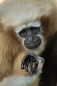 Western hoolock gibbon (Hoolock hoolock) female, captive, Aizawl Zoological Park, Mizoram, India  -  Ian Lockwood