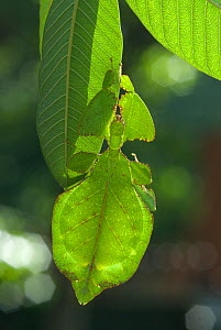 Leaf insect (Phyllium bioculatum) mature female camouflaged on leaf, Sri Lanka  -  Ian Lockwood