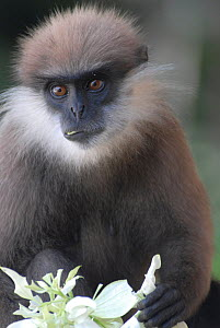 Purple-Faced Langur (Trachypithecus vetulus) in a suburban evergreen forest environment. Endemic, Sri Lanka, Endangered species  -  Ian Lockwood