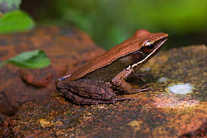 Bronzed frog (Rana temporalis) Endanagered species, wild, Gurukala Botanical Sanctuary,  Kerala, India  -  Ian Lockwood