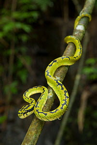 Sri Lanka Green Pit Viper (Trimeresurus trigonocephalus) Sinharaja rainforest, Sri Lanka  -  Ian Lockwood