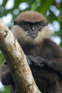 Purple-faced langur (Trachypithecus vetulus) in a suburban evergreen forest environment. Endangered species, Sri Lanka  -  Ian Lockwood