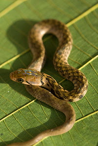 Checkered Keelback snake (Xenochrophis piscator) India  -  Ian Lockwood